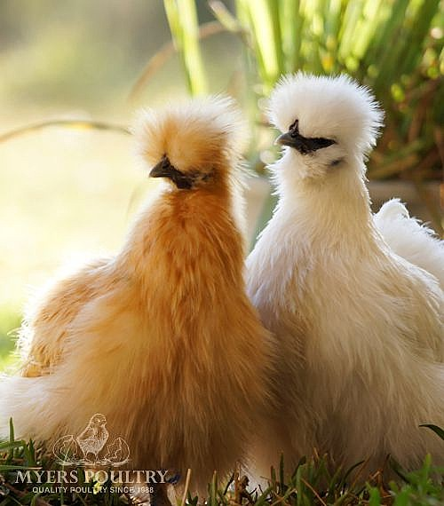 Assorted Silkie