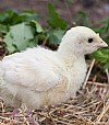 Broad Breasted White Poult