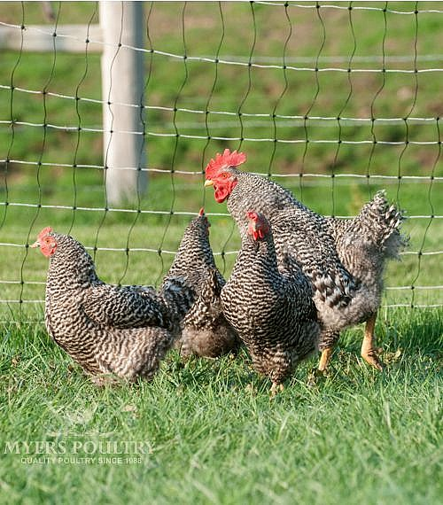Barred Rock Hens & Rooster